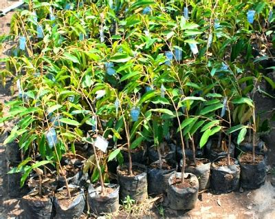Jual Bibit Bebek Di Medan bibit tanaman murah jual bibit durian di medan