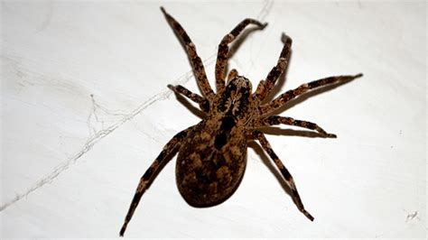 Do House Spiders Bite by Spider Bites Identify What Bit You And Get Proper Help