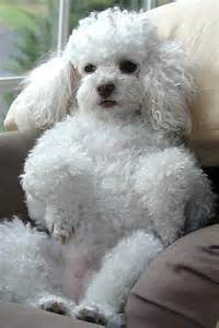 Miniature Poodle The Most Charming Dogs In The World Miniature Poodle