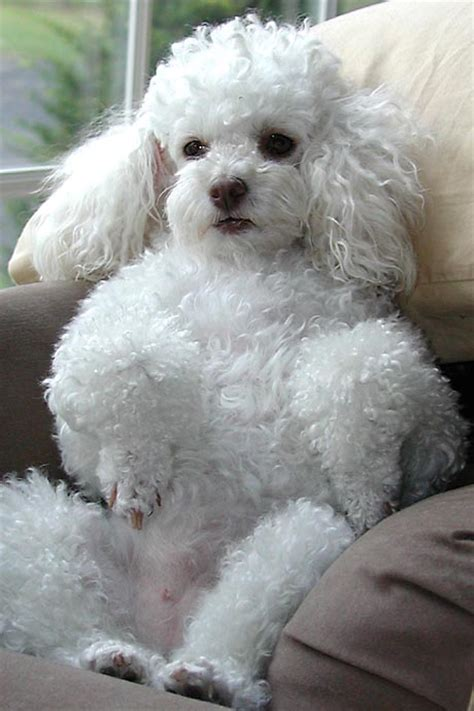 mini poodle info the most charming dogs in the world miniature poodle