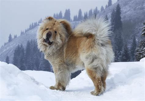 chow golden retriever mix wonderful information about the golden retriever chow chow mix