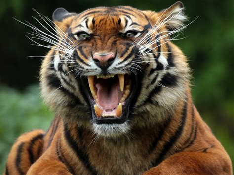 the tiger who would tiger hd wallpapers tiger pictures free download 1080p