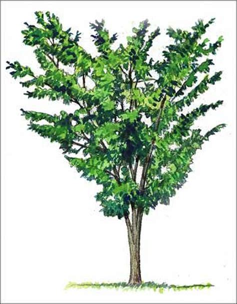 Vase Shaped Shrubs by 17 Best Images About Basic Tree Shape On Trees