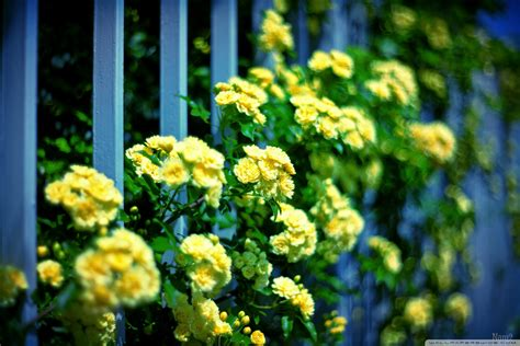 tulips flowers bokeh wallpaper 5120x3200 23648 lady banks roses 4k hd desktop wallpaper for 4k ultra hd