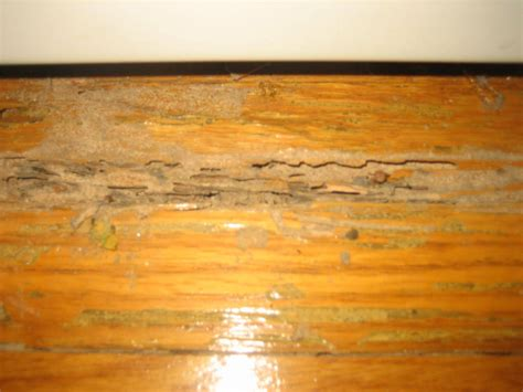 Termite Damage To Hardwood Floors by Termite Damage To Hardwood Floors