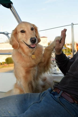 where did golden retrievers originate how to teach a to fly something wagging this way comes