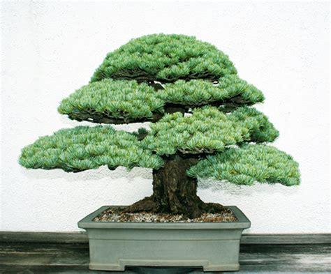 an american bonsai celebration bonsai bark