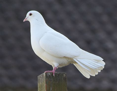 images of doves white dove there are many doves in this cote casillero