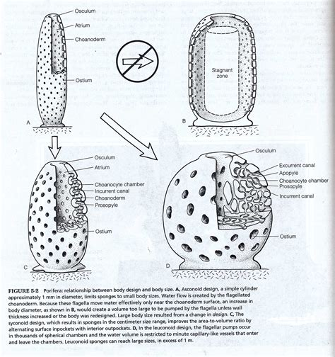 diagram of sponge sponge diagrams and photos