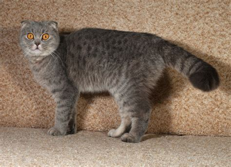 best breeds for cats the 5 best cat breeds for an indoor only home pets4homes
