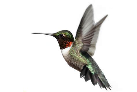 study shows hummingbird flight is both adaptable and