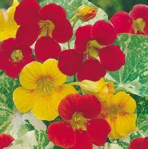Biji Benih Morning Ott 10 Biji 1 bunga fantastic alaskan