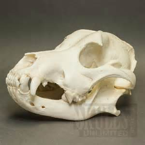 chow chow domestic dog skull canis familiaris