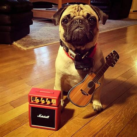 pug guitar 17 best images about pug portraits dressed up on a pug costumes and