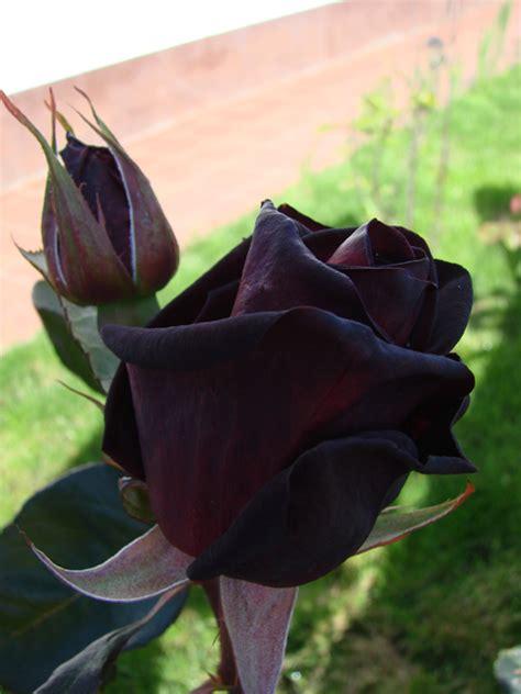 imagenes rosa luto de juarez rosa negra taringa
