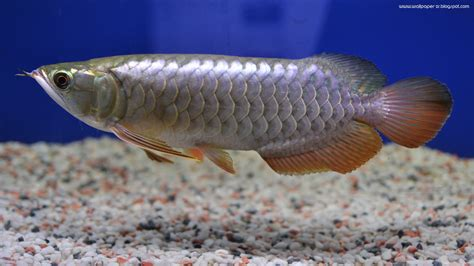 Arwana Golden arowana golden crossback baby wallpaper wallpaper by zuwandi razak