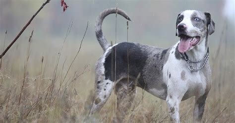 catahoula breed catahoula rescue ontario about the breed