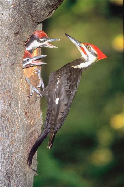 natural habitat for woodpeckers animals mom me