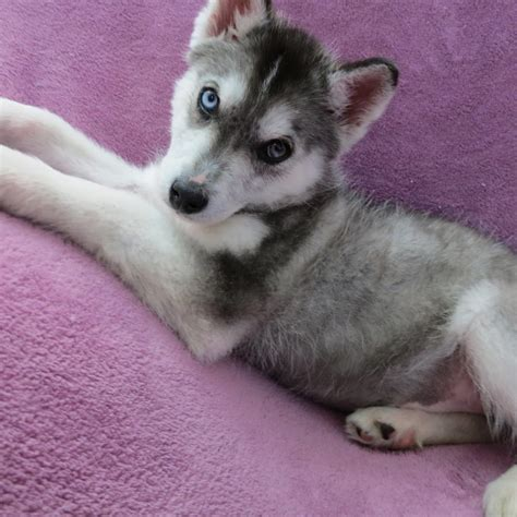 husky puppies wisconsin pomeranian siberian husky mix puppies picture