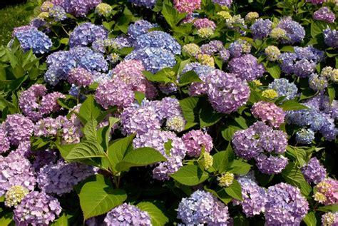 Hydrangea Macrophylla Endless Summer 4457 by 187 Waiting For Hydrangeas Nybg