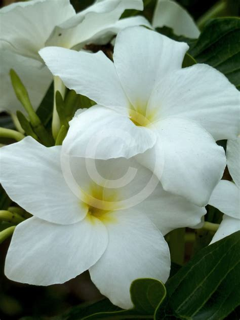 plumeria pudica plumeria pudica everlasting love bridal bouquet