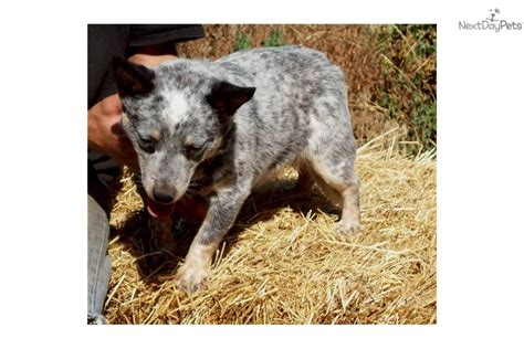 mini australian cattle puppies for sale australian cattle blue heeler puppy for sale near bend oregon 0a19c349 c291