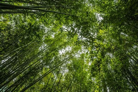 forest green free photo bamboo forest green plant free image on