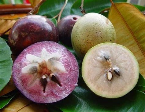 Bibit Tanaman Kenitu Genitu Ungu tanaman kenitu ungu jual tanaman hias