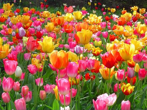 tulip flowers garden hd wallpapers