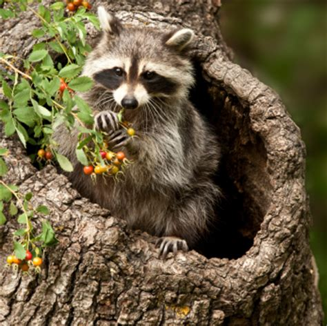what color are raccoons raccoon procyon lotor