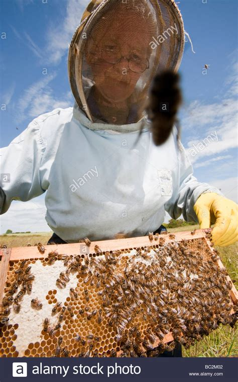 Uk Background Check Bill Mackereth A Beekeeper From Cockermouth Cumbria Uk Checks His Stock Photo Royalty