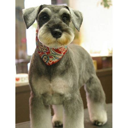 schnauzer hair cut step by step mini schnauzer haircut schnauzer love pinterest a
