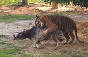 Do Jaguars Attack Humans Tiger Hunt Buffalo Hd
