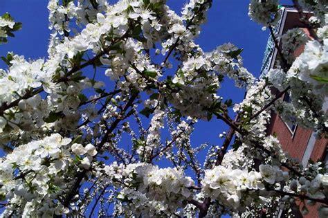 alberi in fiore a primavera fiori di primavera foto giorno corriere roma