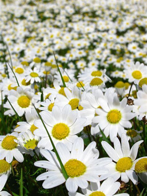 immagini di fiori margherite co di margherite foto immagini piante fiori e