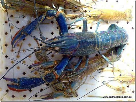 backyard crawfish farming 7 best australian red claw crayfish aquaponics images on