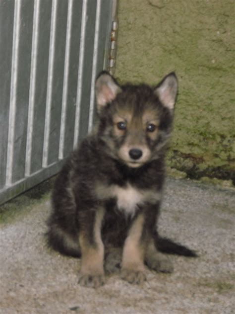 timber wolf puppies for sale timber wolf hybrids south molton pets4homes