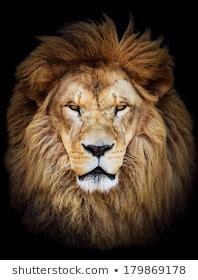 lion face images stock  vectors shutterstock