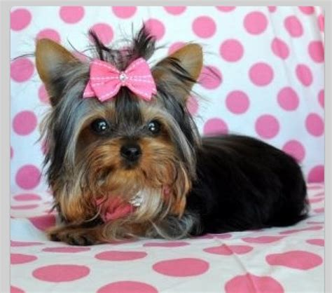 yorkie bow yorkie pets yorkie pink and bows