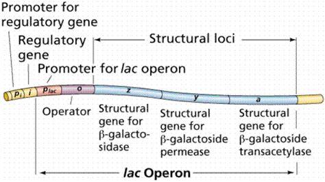 define induction in bacteria lon capa gene