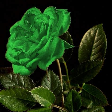 green rose wallpaper hd  uploaded  gautam