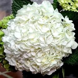 wholesale bulk jumbo white hydrangea flowers flowers by gallon e i