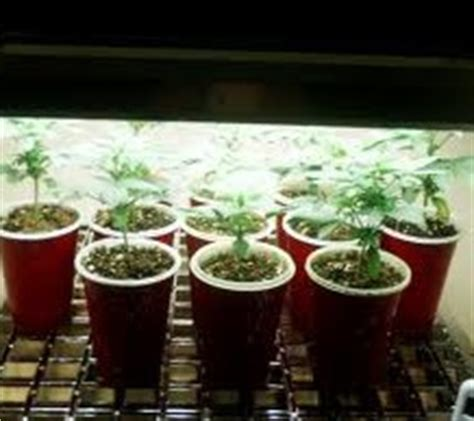 how much light for indoor marijuana seedling sprout