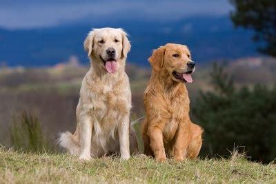 golden retriever rage golden retriever chien sant 233 vet