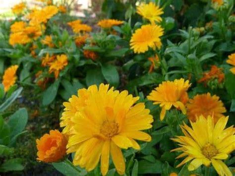 Biji Benih Bunga Bleeding kumpulan nama bunga lengkap dari a z beserta gambar dan