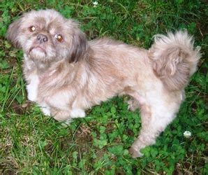 shih tzu rescue syracuse ny 51 best ideas about adoptable dogs on adoption poodles and miniature