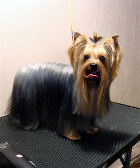 how to give a yorkie a puppy cut yorkie hair cuts a simple diy method