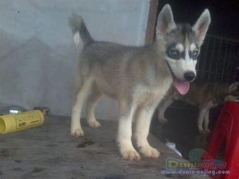 Siberian Husky Jantan dunia anjing jual anjing siberian husky husky puppies
