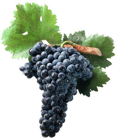 imagenes uva garnacha uvas de vinos lecea www bodegaslecea com mx