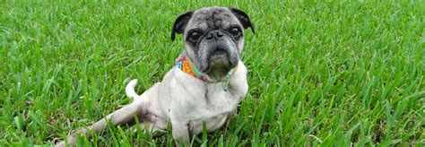 pug rescue shelter compassionate pug rescue a non profit all volunteer pug rescue organization